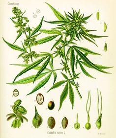 botanical illustration Cannabis plants