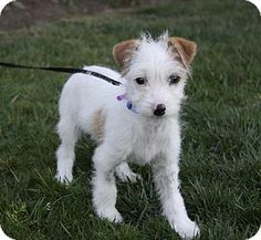 Jack Russell Terrier/Poodle (Miniature) Mix Puppy for adoption in Newport Beach, California - CASH