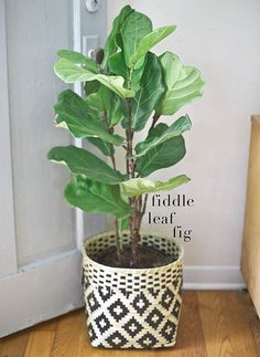 Fiddle leaf fig in a woven pot