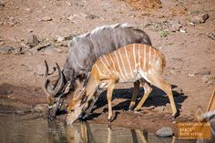 Nyala Takes a Drink in South Africa