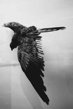 #raven #taxidermy