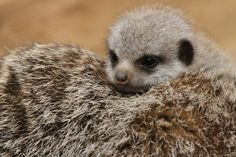One masked baby Meerkat peeks out from behind Mom at Chester Zoo. The tiny newcomer made its first public appearance after being hidden away in burrows by its parents since it's birth about three weeks ago.