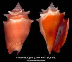 Strombus pugilis (Linne 1758) 81,3 mm. Very beautiful