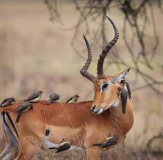 Red-billed oxpeckers making sure the impala ram gets completely clean. This kind of all-over grooming puts him into an almost trascendental state.