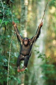 Chimpanzee Pan Troglodytes Juvenile Swinging Chimpanzee Kibale Forest, Uganda by Cyril Ruoso Nature Animals, Animals And Pets, Baby Animals, Funny Animals, Cute Animals, Primates, Beautiful Creatures, Animals Beautiful, Mundo Animal