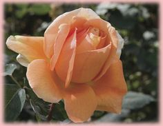 Rosa Hybrid Tea (Bronze Star)