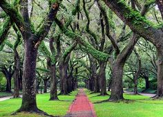 Oak Trees in Houston's North Boulevard - my daily walk with my baby son  - my  living street in Houston, TX, U.S.A.