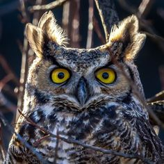 Great Horned Owl Photo by Loren Mooney -- National Geographic Your Shot