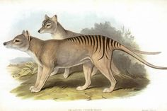 Tasmanian tiger 'sightings' spark scientific study on Queensland's Cape York Peninsula - ABC News (Australian Broadcasting Corporation)