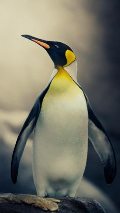 Emperor by Shay Wax Animals Of The World, Animals And Pets, Cute Animals, Emperor Penguins, Penguin Tattoo, Big Friends, King Penguin, Prehistoric Animals, Bird Pictures