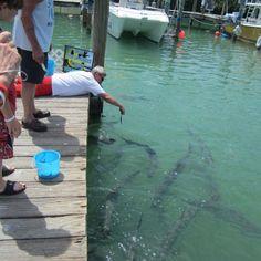 Feed the hungry tarpons at Robbies Marina, Islamorada, Florida Keys.