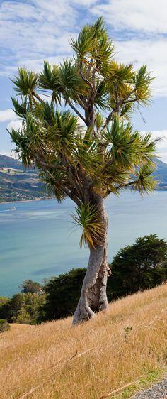 Cabbage tree, Otago peninsula, South Island near Dunedin, New Zealand