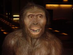 Australopithecus es un género extinto de primates homínidos que comprende seis especies. Las especies de este género habitaron en África desde hace algo más de 4 millones de años hasta hace unos 2 millones de años. La mayor novedad aportada por los australopitecos es que se desplazaban de manera bípeda. El tamaño de su cerebro era similar al de los grandes simios actuales.