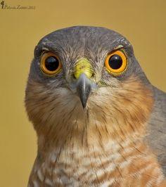 Beautiful Birds, Animals Beautiful, Types Of Eagles, Sparrowhawk, Birds Of Prey, Raptors, Bird Watching, Pyrography, Bird Art