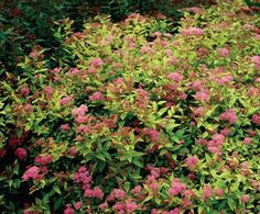 Spirea japonica 'Firelight' Deep rose pink flowers in July and August. Orange-red young growth turns to bright yellow then finally pale green. Height and Spread 0.5 to 0.8 metres. Easy to grow in most moist soils, tolerant of all but the most extreme conditions. Especially suitable for mixed borders.