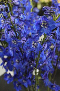 Hybrid Delphinium Blue