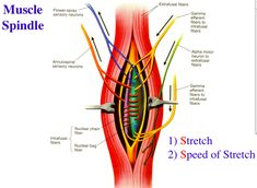 muscle spindle and golgi tendon organ