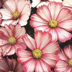 Pase Seeds - Cosmos Peppermint Twist Annual Seeds, $3.49 (http://www.paseseeds.com/cosmos-peppermint-twist-annual-seeds/)