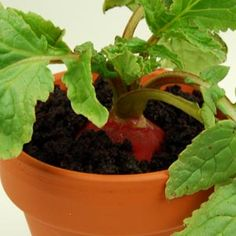 Planted radish in dried olive soil