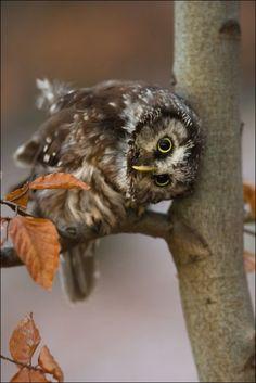 Tengmalm's Owl (by Milan Zygmunt).