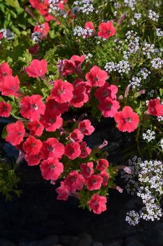From my trial garden, Proven Winners® Supertunia Watermelon Charm. Available in 2013.
