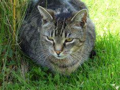 Grey Tabby Cats, N21, Animals, Animales, Animaux, Animal, Animais