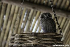 Corujinha-do-mato – Megascops choliba (Vieillot, 1817)  - Animais - RepLago - Rep Lago - Acampamento - Natureza - Verde - mata - bicho - ave - coruja - corujinha