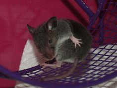 mice | Mice: foundling mouse has crusty eyes, baby, wild