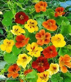 Lichořeřišnice větší ::tinktura, tonikum, odvar . Healing Herbs, Balcony Garden, Handmade Flowers, Amazing Flowers, Korn, Homemade, Gardening, Landscape, Green