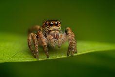 Salticidae - carrhotus xanthogramma (female)