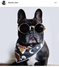 """""""Ain't no other Frenchie got Swag Like this"""", Trev, the French Bulldog #french_trev on instagram"""