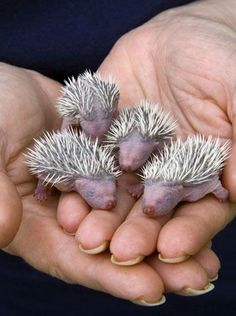 Four baby hedgehogs, no older than 24 hours, held in hand at the Gower Bird Hospital, South Wales, UK. Gower Bird Hospital cares for injured and orphaned birds and small mammals until they're ready to be returned to the wild.