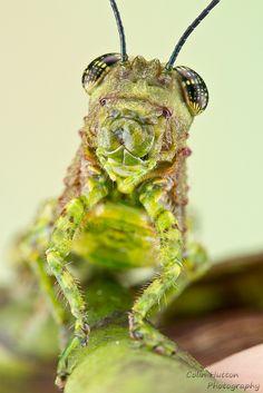 Grasshopper   by Colin Hutton Photography