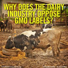 The International Dairy Foods Association (IDFA) is one of the corporate front group ssuing Vermont in an attempt to block the state's GMO labeling law. The trade group is also lobbying for H.R. 4432, an anti-consumer, anti-states' rights bill, introduced in April (2014) in the House of Representatives by Rep. Mike Pompeo (R-Kan.). More here: http://www.fooddemocracynow.org/blog/2015/feb/24-2 #GMOs #GMODairy #food