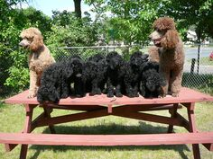 standard poodle puppies - Bing Images