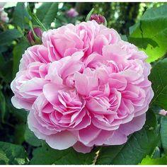 Rosal 'Jacques Cartier'