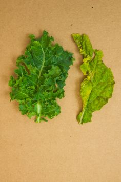 grown indoors, here's a comparison between our delicate, untypically sweet kale and the outdoor product (hint: ours is on the left!)
