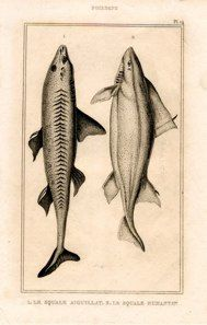 dogfish shark french 1818 engraving $45