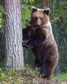 Standing still... #brown #bear #finland #kuhmo #europe #wildlife #nature Majestic Animals, Brown Bear, Creatures, Europe, Wildlife Nature, Foxes, Instagram Posts, Animals, Finland