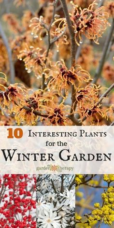 Winter doesn't have to be white in the garden. These colorful characters will add some pizzazz to the winter garden with their showy limbs, bright berries, and even some flowers! Here are some ideas for what to plant for winter garden interest. Vegetable Garden, Garden Plants, Conservatory Plants, Herb Garden, Organic Gardening, Gardening Tips, Gardening Books, Indoor Gardening, Winter Poster