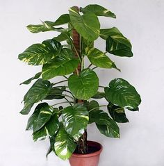 Money plant or golden pathos (Epipremnum aureum). Plant recommended by NASA for its air-purifying abilities.