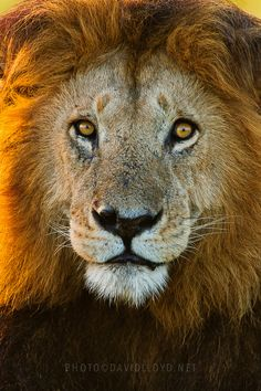 Notch is the one of the largest and is the oldest lions in the Masai Mara at about 13-14 years of age. His age is attributed to the fact that he is constantly in the presence of one or more of his four sons, who all bear varying semblances of himself.