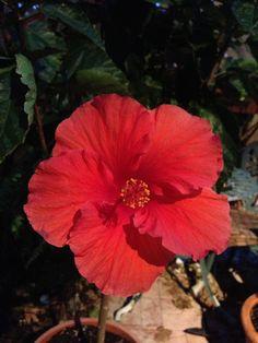 Hibiscus Tree, one of my favs! Hibiscus Tree, Canning, Plants, Home Canning, Plant, Planting, Planets, Conservation