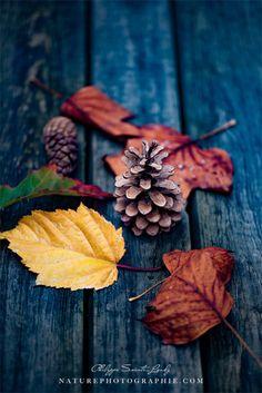 Collection de photos d'automne... Quelques feuilles et pommes de pins pour des compositions automnales. Je me suis bien amusé ! Pendant la prise de vue et...