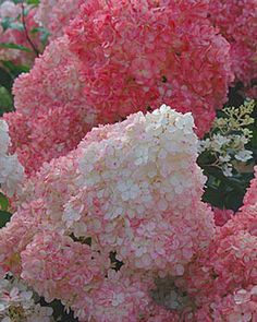 Vanilla Strawberry Hydrangea.  How beautiful are these!