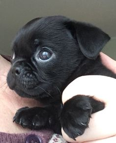 Prins Harry Winter - cute pugmix 8 weeks