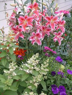 the big pink flowers in the back are stargazer lilies, I just planted some underneath yellow hollyhocks and a small red rose bush :) this is a beautiful picture of a beautiful planting mix!!