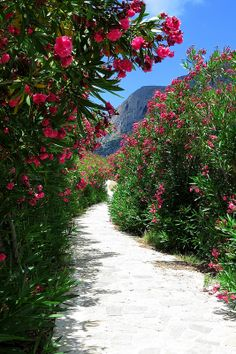 Path framed by oleanders. Telendos island, Dodecanese, Greece--I love oleander which thrives in hot dry climates--I know it from living in California and Egypt. Mykonos, Santorini, Nature Pictures, Cool Pictures, Path To Heaven, Dame Nature, Mediterranean Garden, Greece Islands, Tropical Garden