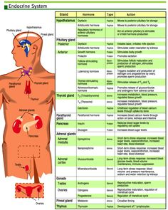 ibbio [licensed for non-commercial use only] / Nerves, hormones and homeostasis Gland, Hormone, Type & Action