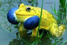 Indian Bull Frog - Found in Myanmar, Bangladesh, Pakistan and India, the Indian bullfrog is renowned for its large size and dramatic coloring. Wild Animals Pictures, Animal Pictures, All Gods Creatures, Sea Creatures, Reptiles And Amphibians, Mammals, Funny Animals, Cute Animals, Funny Frogs